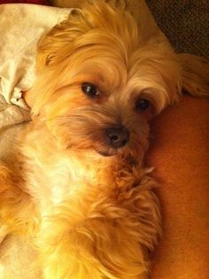 Gracie, my #morkie #dogs #cute