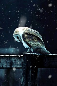 An owl in the falling snow