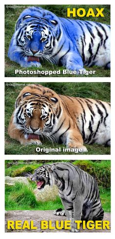 "The Maltese tiger, or blue tiger, is a reported but UNPROVEN colouration morph of a tiger, reported mostly in the Fujian Province of China. It is said to have grey/blue fur with dark grey stripes. Not bright blue as photoshopped plus no one has photographed one.    The term ""Maltese"" comes from domestic cat terminology for blue fur, and refers to the slate grey colouration."