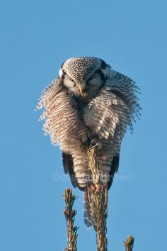 featheroftheowl: Northern Hawk Owl by ~Doug~
