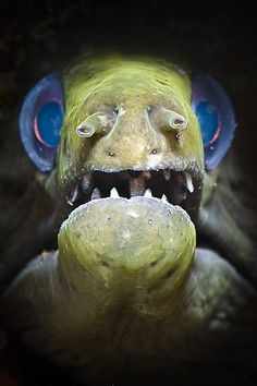 Moray close up