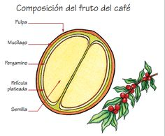 COMPOSICIÓN DEL FRUTO DEL CAFÉ | Yo amo el café de Colombia