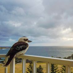 Mrs Cookaburra enjoying the view from my balcony.