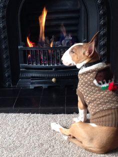 English Bull Terrier named ''Roo''