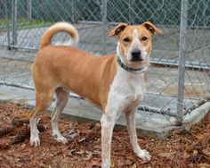 Meet Dora, a Petfinder adoptable Hound Dog | Tomball, TX | Hi!  I am Dora.  I was adopted as a little puppy but then I grew and grew.  My family decided I was...