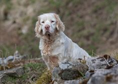 Clumber Spaniel, Springer Spaniel, Cocker Spaniel, Sussex Spaniel, Dog Breeds Pictures, Field Spaniel, Spaniel Breeds, The Kennel Club, Great Pyrenees