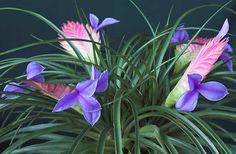 Jazmin dísznövény ABC: Szakállbromélia - Tillandsia cynea