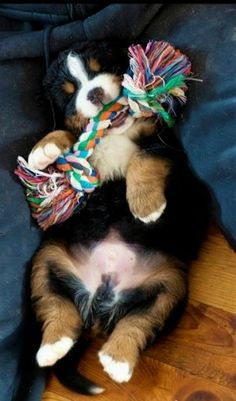 It just doesn't get any cuter. Looks like a Bernese Mountain Dog puppy