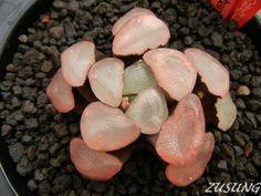 Haworthia maughanii 'Purple Lens'
