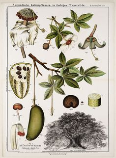 tangledwing:  Tree and parts of Adansonia digitata L., 'Affenbrotbaum. English…