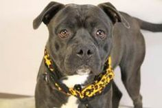 NAME: Blue  ANIMAL ID: 22150403  BREED: American Staffordshire mix  SEX: Male- neutered  EST. AGE: 2 ½ yr  Est Weight: 64 lbs  Health: heartworm neg  Temperament: dog friendly, people friendly  ADDITIONAL INFO:  RESCUE PULL FEE:$49  Intake date: 7/10