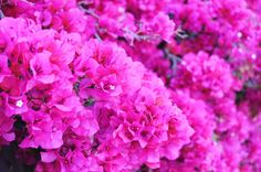 These flowers are everywhere in Greece during summer. Pink Things, Simple Things, Sweet Page, Creature Comforts, Bougainvillea, Daily Inspiration, Pretty In Pink, Beautiful Things, Hot Pink