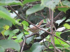 野鳥、ウグイス. a Japanese bush warbler. 14 July 2016.