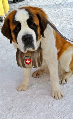 I want to go to Switzerland just so I can see a dog like this, with a thing on its neck like that. hahah