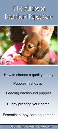 Puppies First Days - important step in dachshund puppy care.Picking up your puppy is often a very exciting time, along with a little fear of...