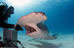 Dinner time: US filmmaker and dive-master Joe Romeiro hand-feeds a 20ft great hammerhead s...