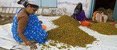 """Les plantes qui soignent : le curcuma ou """"safran des Indes"""" pour une bonne digestion"""