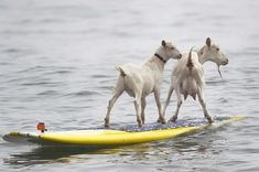 surfing goats- not sure these are happy #goatvet