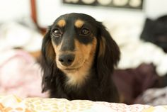 This is my Chauncey. He is pleased to meet you. #dog #doxie #dachshund