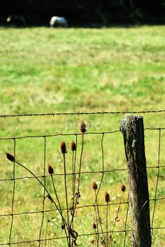 by Dorothy Turnbull - Landscapes Prairies, Meadows & Fields ( thistle, post, grass, horse, carriage hill, prairie, field, fence, ohio, pole, dorothy turnbull, weeds, five rivers metro parks, dojo photo )