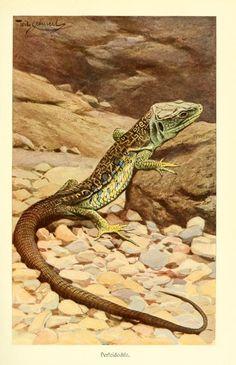 From Brehms Tierleben (Brehm's Animal Life) - 1911.