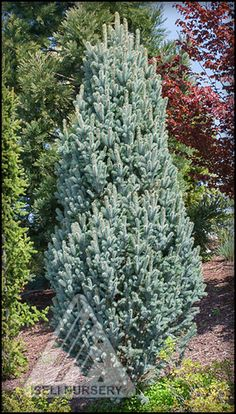 Back to art school basics | The Amazing World of Conifers