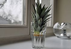 Ananas selber ziehen. Ich hab's schon probiert und es klappt. Mit etwas Geduld, nach ca. 2,5 bis 3 Jahren kann man seine eigene Ananas ernten.