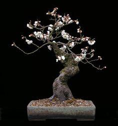 ★ Prunus mume Bonsai   Wolfgang Putz