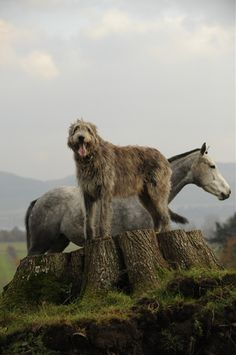 The Irish traded Wolfhounds to the Romans. We know because there is an early 4th century CE reference to 'seven Irish dogs, which so astonished Rome that it was thought they must have been brought in cages'.