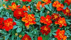 Southern California Gardening: Some Favorite Spring Flowers Outdoor Landscaping, Outdoor Gardens, California Garden, Southern California, Diy Garden Projects, Plantar, Begonia, Lawn And Garden, Spring Flowers