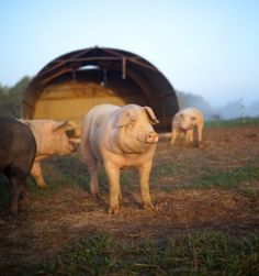 How To Raise Pigs On Pasture By Forrest Pritchard on April 20, 2014  Great article!