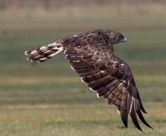 The short-toed snake eagle (Circaetus gallicus) also known as short-toed eagle, is a medium-sized bird of prey in the family Accipitridae which also includes many other diurnal raptors such as kites, buzzards and harriers. This is an Old World species spread throughout the Mediterranean basin and into Russia and the Middle East, and into parts of Asia, mainly in the Indian Subcontinent and also further east in some Indonesian islands).