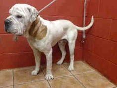 PLEDGES AND RESCUE NEEDED! A4790510 I don't have a name yet and I'm an approximately 3 year old male mastiff. I am not yet neutered. I have been at the Downey Animal Care Center since January 9, 2015. I will be available on January 13, 2015. You can visit me at my temporary home at D611. https://www.facebook.com/photo.php?fbid=795915167155484&set=a.621812584565744&type=3&theater