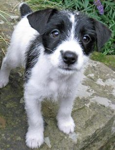 Jack russell. If I was to get another Dog this one the one.
