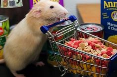 Marty The Rat Will Change How You Feel About Pet Rats | that's one cute rat!