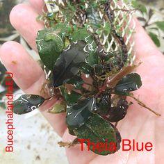 Bucephalandra Theia Blue
