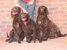 Murray River curly coated retrievers