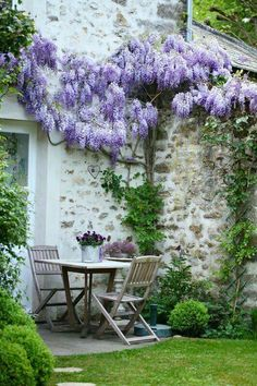 Trained wisteria
