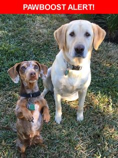 Please spread the word! Remi And Katie was last seen in Hutto, TX 78634.  Description: Remi is a friendly female yellow lab and Katie is a friendly female dapple dachshund. They are both very close and most likely will be found together. Please help me bring my sweet girls back my our family! When they got out they both had their collars on that would have had our numbers on them.