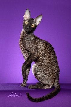 Cornish-Rex-cat
