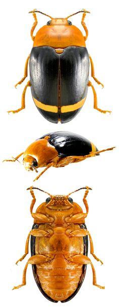 Erotylidae gen sp. Ecuador