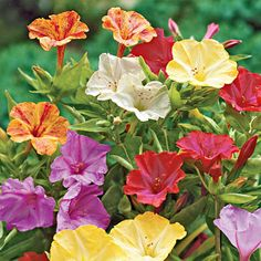 Four o'Clocks, an easy-to-grow flower that attracts hummingbirds & butterflies.~ I have special seeds.