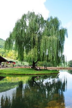 When I was younger, we had willow trees just like this by the neighborhood lake I used to swing from the tree branches until one day I fell into the lake! is part of Willow trees garden - Garden Trees, Trees To Plant, Bonsai, Florida Trees, Weeping Willow, Weeping Trees, Backyard Landscaping, Shrubs, Scenery