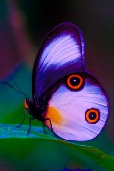 Most Beautiful Butterfly, Beautiful Bugs, Beautiful Creatures, Animals Beautiful, Cute Animals, Butterfly Wallpaper, Butterfly Flowers, Flying Flowers, Cool Insects