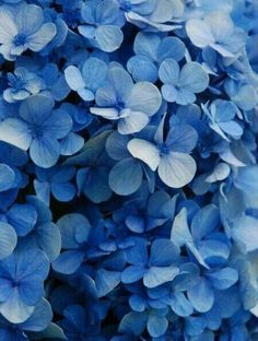 Latest Photo Hydrangeas decoration Thoughts If you want a garden bloom using show attraction, hydrangea bouquets will be absolutely stunning. Hortensia Hydrangea, Hydrangeas, Blue Hydrangea, Lilacs, Everything Is Blue, Aesthetic Colors, Blue Aesthetic Tumblr, Rainbow Aesthetic, Phone Backgrounds