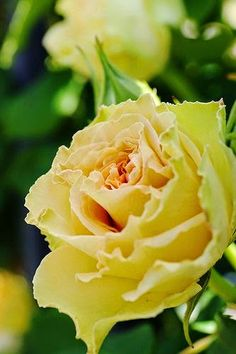 Yellow Rose by Shingan Photography on Flickr