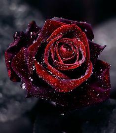 rosas blancas goticas con sangre - Buscar con Google