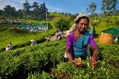Back at work today? A tea-picker working in a tea plantation near Nuwara Eliya, Sri Lanka. Sri Lanka is one of the world's leading tea-producing nations. Over one million Sri Lankans are employed in the tea industry (Photograph and caption by Dafna Tal)