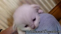 Ragdoll Kittens For Sale, Kitten For Sale, Ragdoll Cats, Daily Pictures, Facebook, Pets, Friends, Videos, House