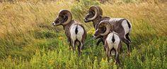Page not found - 1859 Magazine Dik Dik, Big Horn Sheep, Rocky Mountain National Park, Dahl, Meals For One, Rocky Mountains, Animals Beautiful, Mammals, Horns